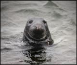 Gray Seal in Lerwick harbour