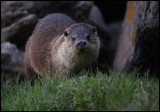 Late arriving otter at Laxo ferry terminal