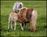 Shetland Ponyes near Tingwall