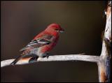 Male Pine Grosbeak - Neljän Tuulen Tupa - Kaamanen