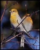 Female Pine Grosbeaks - Neljän Tuulen Tupa - Kaamanen