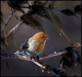 Female Pine Grosbeak - Neljän Tuulen Tupa - Kaamanen