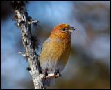 Female (young male??) Pine Grosbeak - Neljän Tuulen Tupa - Kaamanen