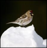 Common Redpoll - Neljän Tuulen Tupa - Kaamanen