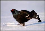Male Black Grouse