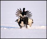 Black grouses fighting