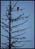 Hawk Owl - Liminka/Silkajoki