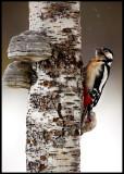 Greater Woodpecker - Liminka