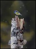 Blue Tit in snowfall - Liminka
