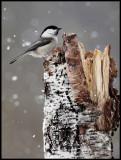 Willow Tit in snowfall - Liminka