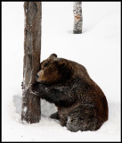 Mmmmm - I love my tree....male Brown Bear (Ursus arctos)