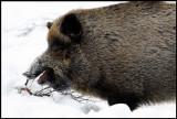 Happy Wild Boar (Sus scrofa)