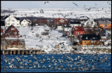 Local gulls near the fish-oil factory