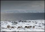 Reindeer in front of Varangerfjord