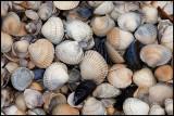Seashells at Ugglarp beach - Halland