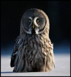 Great Gray Owl - Tornio