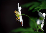 Wildwood Windflower (Anemone nemorosa) and beetle - Växjö