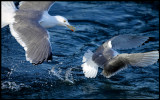 A Gull coming after a Kittywake to take it`s fish.....
