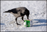 Hooded Crow looking for cream...