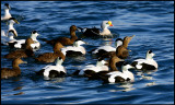 Nice collection of Eiders