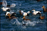 Eiders diving together