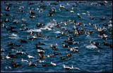 Great mix of interesting birds in Vadsö harbour