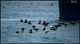 A little flock of King Eiders in harbour area