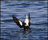 A male King Eiders flapping wings