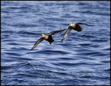A pair of male King Eiders arriving