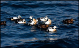 Stellers Eiders playing