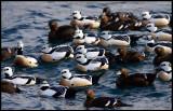 A small flock of Stellers Eiders in Vardö