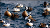 Two Stellers Eider drakes showing