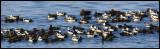 A flock of Stellers Eiders