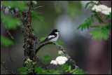 Male Black and White Flycatcher