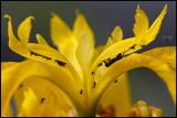 Yellow Iris (Iris pseudacorus) with flies searching food under leafs