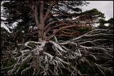 Pine chaos- Cairngorm Mountains / Scotland