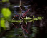 Röd flickslända (Pyrrhosoma nymphula) - Bräkneån