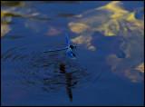 Blåbandad jungfruslända (Calopteryx splendens) - Bräkneån