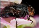 A fly resting on flowers in our kitchen (2,5:1)