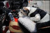 Harley Davidson dog on vaccation - Gotland