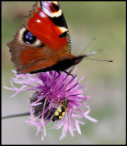Crowded flower - European Peacock (Inachis io) and Hoverfly