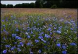 Cornflower (Blåklint- Cyanus segetum) - Denmark