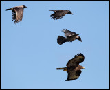 The mobb flying after a Buzzard (Ormvråk - Buteo buteo) at Falsterbo