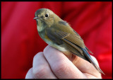 A Red-flanked Bluetail (Blåstjärt - Tarsiger cyanurus) a rare visitor to Ottenby Birdstation