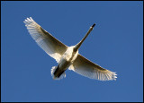 Mute Swan (Cygnus olor) flying over Ottenby