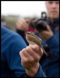 Very exclusive bird in Sweden - Black-throated Accentor (Svartstrupig järnsparv  Prunella atrogularis) Ottenby