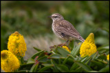 New Zealand Pipit and megaherbs at Enderby Island