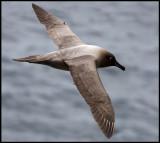 Light-mantled Sooty Albatross - Enderby Island (Auckland Islands)