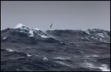 Black-browed Albatross in gale