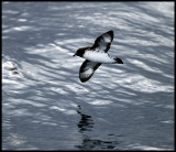 Cape Pigeon